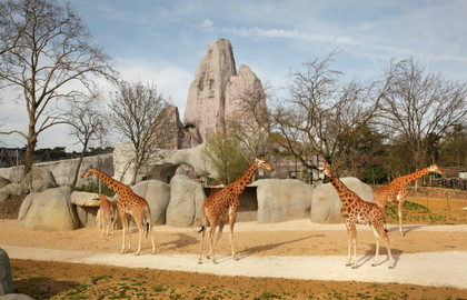 Parc-zoologique-de-Paris-girafes-_-630x405-_-©-OTCP-DR_block_media_big